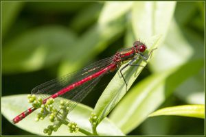 13_Danne_Johansen_Large-red-Damsels