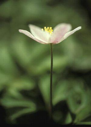 """Karin Brinks Melbye Aalborg Fotoklub """"Anemone"""" Bedste flora"""