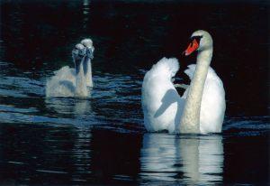 Bedste_fauna_-_Erik_Loevendahl_Soerensen_-_Swans_i_black
