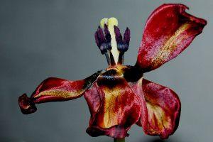 Vissen-tulipan---Henrik-S-Nielsen---AFA