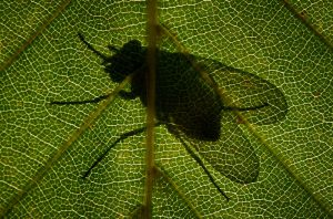 810_Thies Laemmke_Fly_on_a_leaf