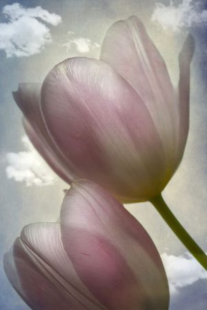 4469_Lotte Christina Andersen_Tulips_in_the_sky_1-3