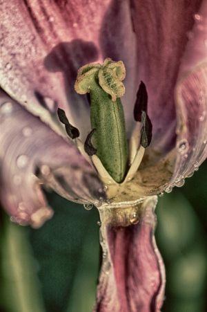 2060-Lene-Hansen-Tulipan_-