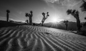 1241-Tom-Pallesen-Joshua_Tree_in_Desert_Sand-