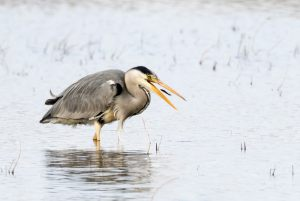 3376-Ib-Corneliussen-Nielsen-Grey_Heron_with_Catch-