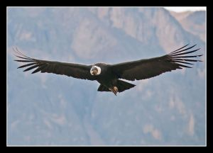 4305-William-Gaarde-Nissen-Condor_320_m_i_Valle_Colca_Peru-
