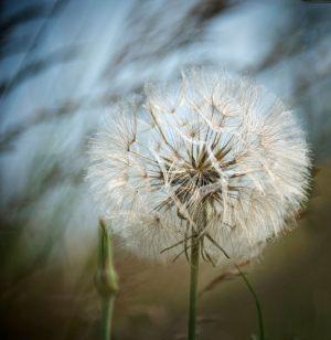 453-Peter-Birk-Dandelion-