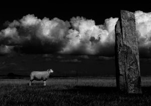 MP - 983 Fotograf  John Nagel Petersen    Sheep In Front Of Stone  Faelles dommerdiplom