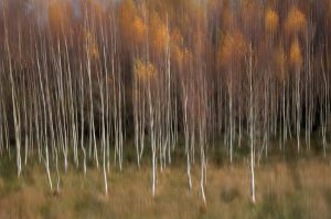 6657 Uwe Hess     Birch wood