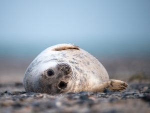 6504 Peter  Bentsen     Young relaxing seal