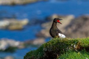 7204 Allan Jensen     Black Guillemot at Mykines