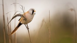 8098 Peter Helmut Larsen     Bearded tit