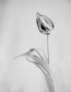 Monochrome Tulip.