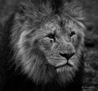 løvernes konge.jpg