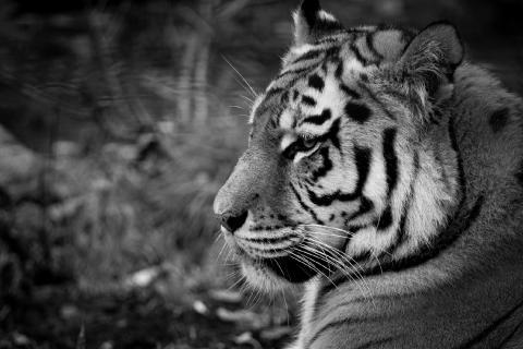 tiger tanker.jpg