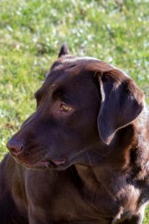 Dog Brown Lab.jpg