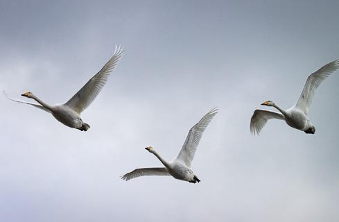 Swan air