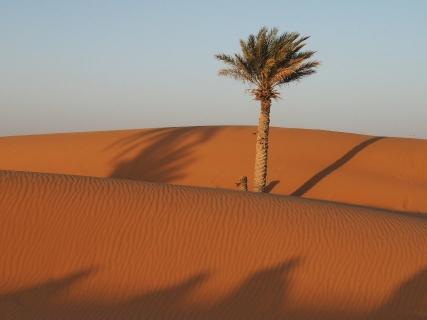 Enlig palme i ørkenen