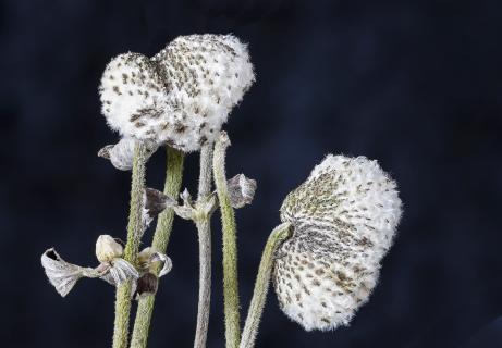Høstanemone 5