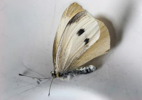 Kålsommerfugl 1